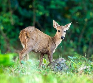 In 1980s, the Calamian Deer is considered a threatened and endemic specie of Palawan but now, it abounds Calauit Safari Park
